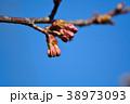 河津桜 桜 蕾の写真 38973093