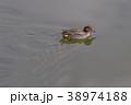 コガモ 水鳥 鳥の写真 38974188