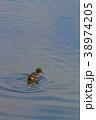 コガモ 水鳥 鳥の写真 38974205