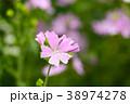 ゼラニウム 花 植物の写真 38974278