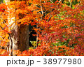 晴天 晴れ 紅葉の写真 38977980