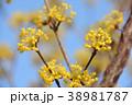 サンシュユ 花 ハルコガネバナの写真 38981787