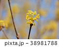 サンシュユ 花 ハルコガネバナの写真 38981788