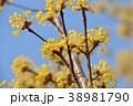 サンシュユ 花 ハルコガネバナの写真 38981790
