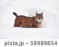 オオヤマネコ ウィンター 冬の写真 38989654