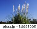 松阪ベルファームのアガパンサス 38993005