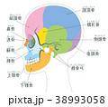 頭蓋骨 骨 頭のイラスト 38993058