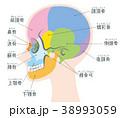 頭蓋骨 骨 頭のイラスト 38993059