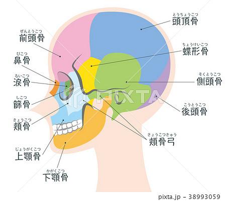 頭蓋 側頭部 名称 ボディのイラ...