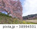 河津桜 桜 花の写真 38994501