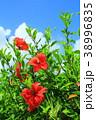 沖縄 青空 ハイビスカスの写真 38996835