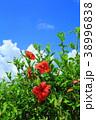 沖縄 青空 ハイビスカスの写真 38996838