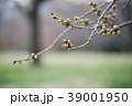 春を待つ桜の蕾 39001950