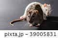 white and gray rats 39005831