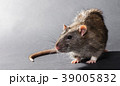 animal gray rat close-up 39005832