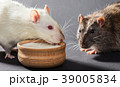 white and gray rats eat 39005834