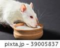 animal white rat eating 39005837