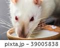 animal white rat eating 39005838
