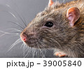 animal gray rat close-up 39005840