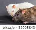 white and gray rats 39005843