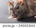 animal gray rat close-up 39005844