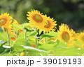 ひまわり 夏 花の写真 39019193