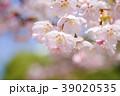 桜 さくら サクラ サクラの花と青空  39020535