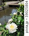 牡丹 花 植物の写真 39025804