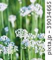 韮 花 野菜の写真 39034665