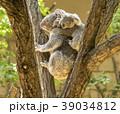 コアラ 親子 動物の写真 39034812