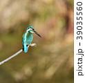 カワセミ 翡翠 小鳥の写真 39035560