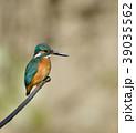 カワセミ 翡翠 小鳥の写真 39035562