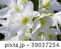 デンドロビウム デンドロビューム 花の写真 39037254