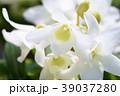 デンドロビウム デンドロビューム 花の写真 39037280
