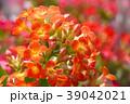 カランコエ 39042021