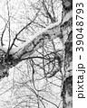 冬の白樺 モノクロ 39048793