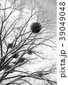 冬の木 モノクロ 39049048