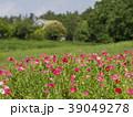 ヒナゲシ ポピー 花の写真 39049278
