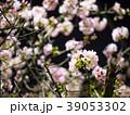 桜 さくら サクラの写真 39053302
