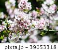 桜 さくら サクラの写真 39053318