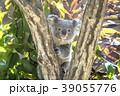 コアラの赤ちゃん 39055776
