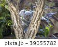 コアラの赤ちゃん 39055782