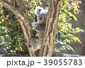 コアラの赤ちゃん 39055783