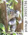 コアラの赤ちゃん 39055786