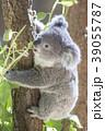 コアラの赤ちゃん 39055787