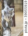 赤ちゃんコアラをおんぶする母コアラ 39055919