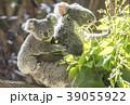 赤ちゃんコアラをおんぶする母コアラ 39055922