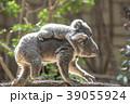 赤ちゃんコアラをおんぶする母コアラ 39055924