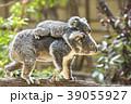 赤ちゃんコアラをおんぶして歩く母コアラ 39055927
