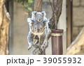 赤ちゃんコアラをおんぶして歩く母コアラ 39055932